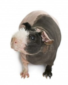 D.C. finds a hairless guineau pig to be an acceptable gift