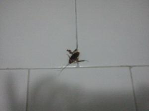 squished cucaracha